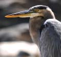 Blue Heron Paddle Saturday, May 6, 10:00 am -12:30 pm Image