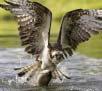 Osprey Paddle Saturday, June 10, 10:00am-12:30pm Image